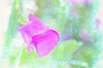 Pretty Pink Sweet Pea  by Dawn Cox
