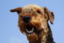 Airedale Terrier by ir-md