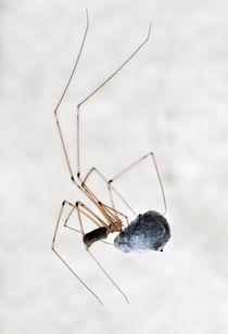 Spinne wickelt Fliege ein von Matthias Hauser