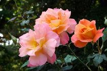Rosenblüten von lorenzo-fp