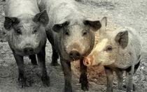 Junge Schweine by Johanna Leithäuser