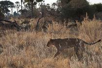 Lioness hunting, Botswana von Kristel Richard
