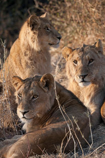 Lion Pride Africa by Kristel Richard
