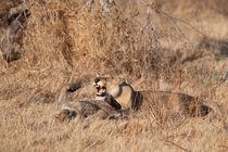 Lions playing Botswana by Kristel Richard