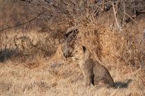 Lion cub Botswana von Kristel Richard