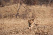 Lion cub, Botswana von Kristel Richard