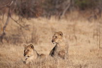 Baby lions cuba von Kristel Richard