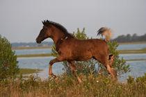 Wild Chincoteague Colt von Kristel Richard