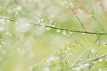 Asparagus and rain by Lars Hallstrom