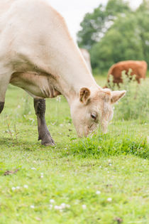 Cow on pasture von Lars Hallstrom