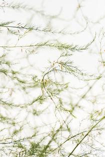 Asparagus by Lars Hallstrom