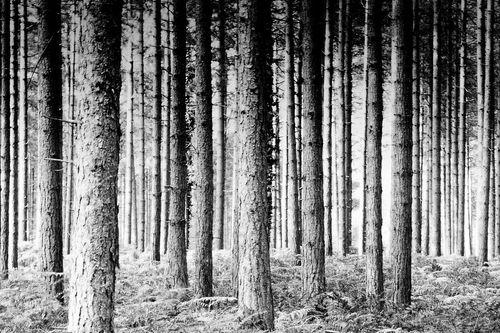 Pineforestbwannestaub