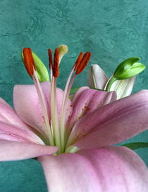 rosa Lilie von Kerstin Runge
