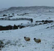 Sheep in the Snow by John McCoubrey