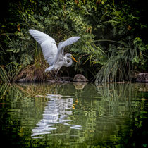 Egret Hunting by Chris Lord