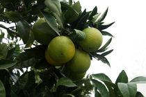 Orangen am Baum von magdeburgerin