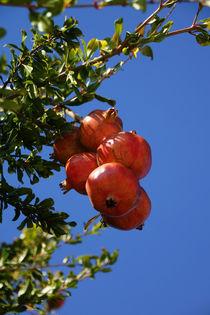 Granatäpfel am Baum von magdeburgerin