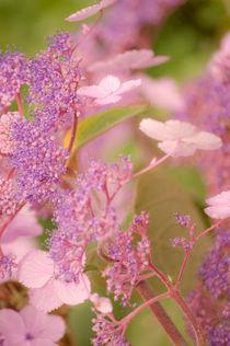 Pink Hydrangea von Dawn Cox
