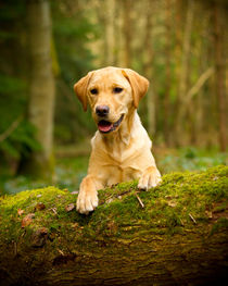 Golden labrador in woods on a log von Chris Day