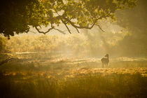 Fallow deer hind in misty sunlight 1 von Chris Day