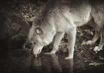 Weißer Wolf  von Barbara  Keichel
