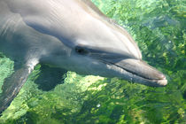 Sea-world-bottlenose-dolphin-3309