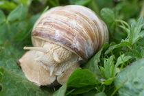 Weinbergschnecke Vineyard snail (Helix pomatia) von hadot