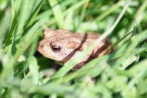 Erdkröte,(Bufo bufo)  Common Toad, (Bufo bufo) by hadot