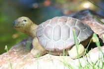 Schildkröte   turtle von hadot