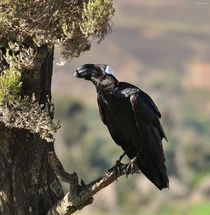 Thick billed Raven by Shaun Toft