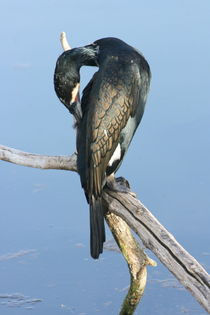 Kormoran  cormorants by hadot