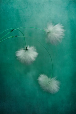 Cottongrass