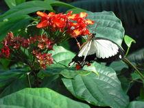 Butterfly 1 von lorenaoneill