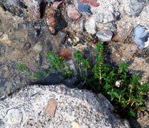Salzmiere (Honckenya peploides) von Peter Norden