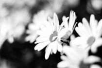 Flowers in Black & White von Chris Harvey