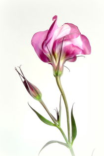 Eustoma by Kerstin Runge