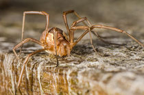 Harvestman by James Kennedy