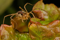 Opiliones by James Kennedy