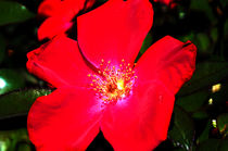 Summer-red
