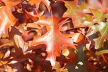Sumpfeichenblätter im Herbst von alsterimages
