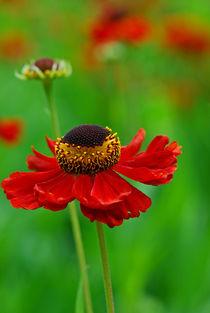 Helenium Hybride  von Violetta Honkisz