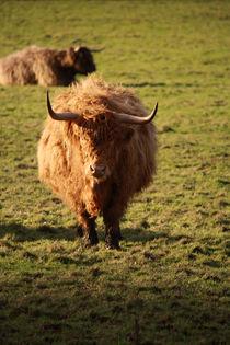 Highland-cow