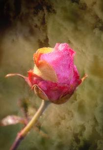 Rose by Barbara  Keichel