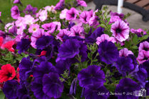 Purple Petunias by sisterofdarkness