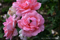 Pink Roses with Bee by sisterofdarkness