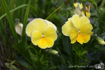 Yellow Pansies von sisterofdarkness