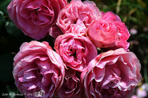 Pink English Roses by sisterofdarkness