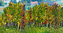 Vineyard in autumn by Leopold Brix