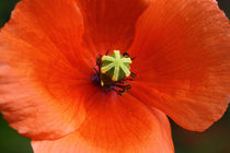 Mohn - poppy by ropo13
