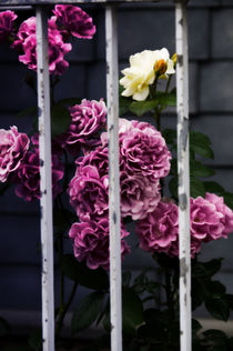 Roses fence by fotograf
